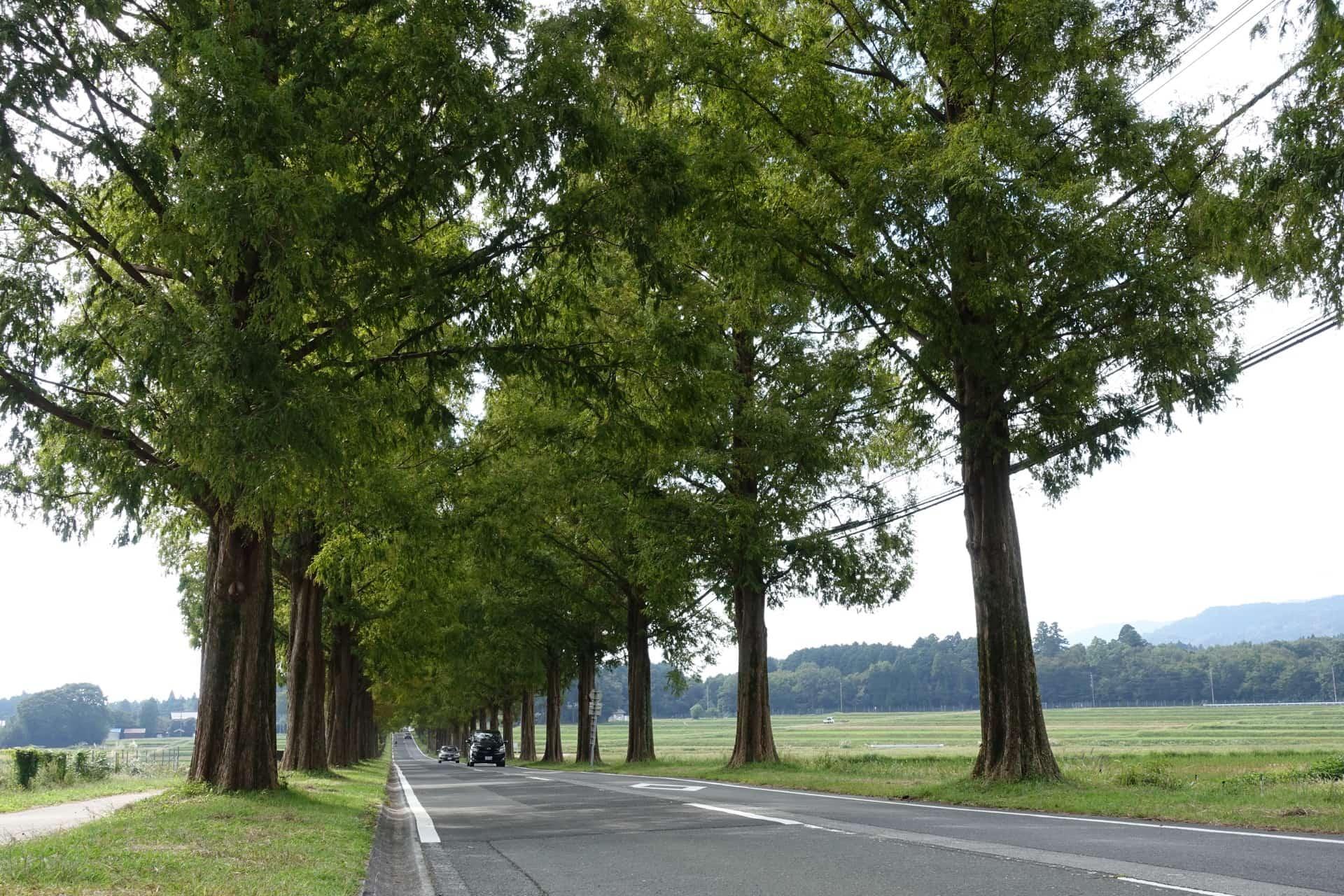 美しさに感動!滋賀・マキノのメタセコイア並木にレンタサイクルで行ってきたよ